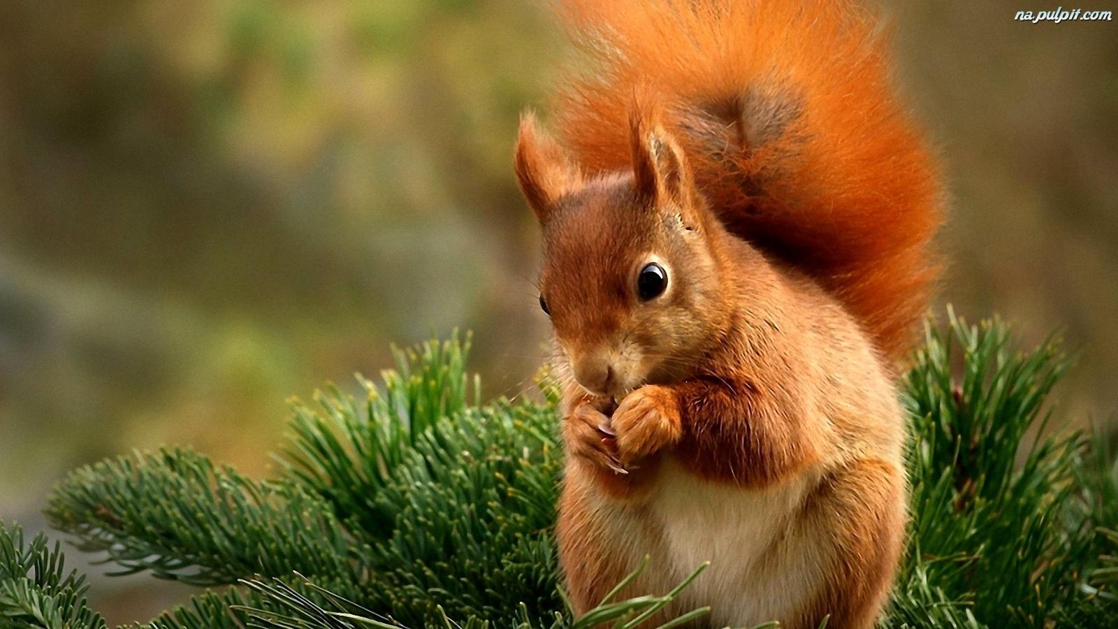 Citate Fotografie Free : Drzewko wiewiórka ruda iglaste na pulpit